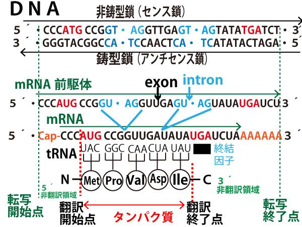 2019年大学入試センター試験「生物」第6問(遺伝子)問題・解答・解説 ...